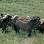 Los caballos salvajes del monte gallego
